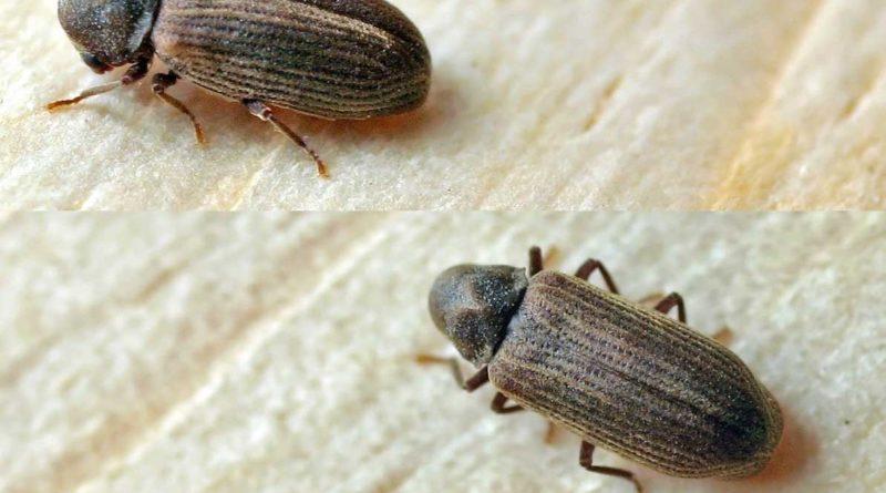 Disinfestazione tarli e termiti