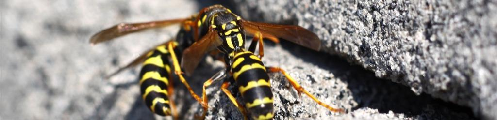 banner disinfestazioni vespe