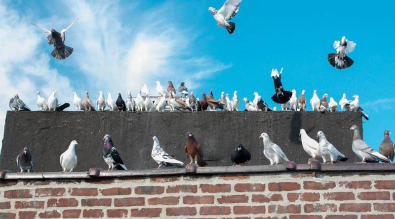 Allontanamento colombe e volatili
