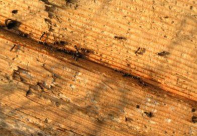 Disinfestazione formiche del legno