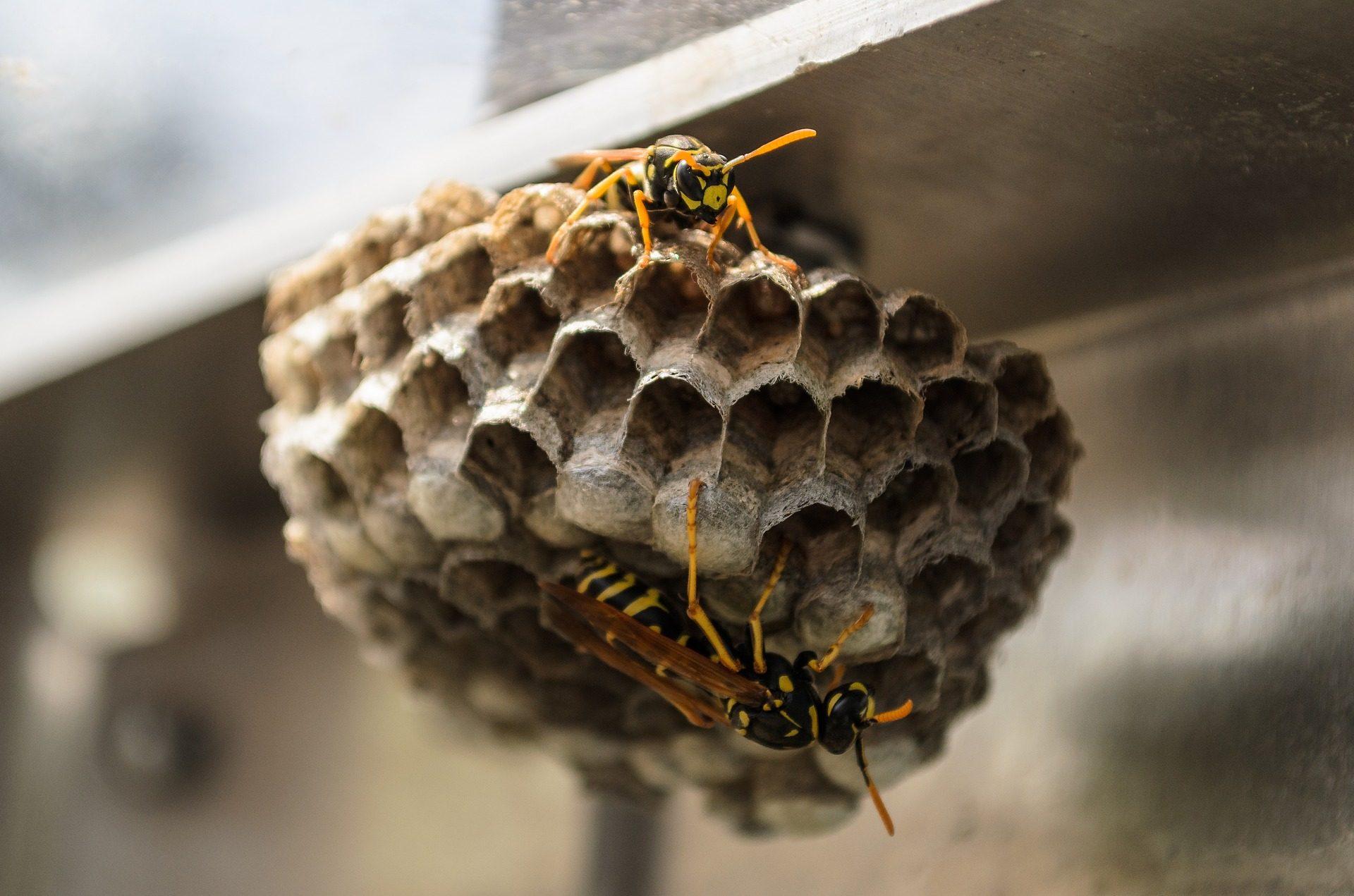 disinfestazione vespe e calabroni in calabria | csgnet service srls